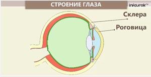 Органы чувств. Зрение, слух