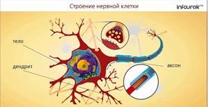 Строение нервной системы и её значение